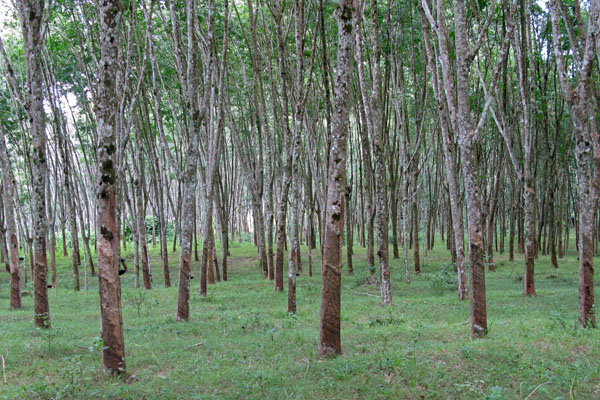 Rubber tree farm.
