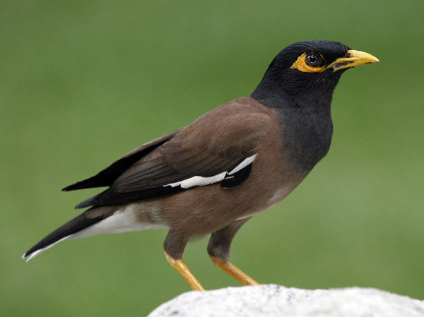 Nik and I see the Common Myna nearly every day outside our window.  The markings are beautiful!! *