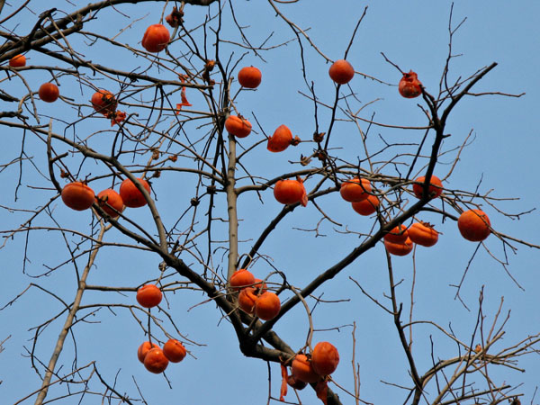 Persimmon trees in winter