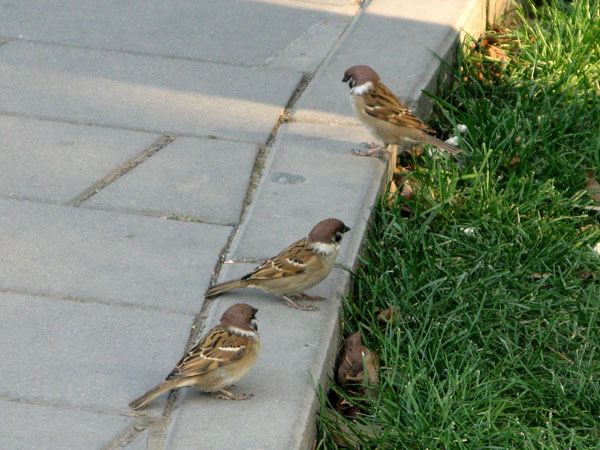 Sparrows playing on the sidewalk