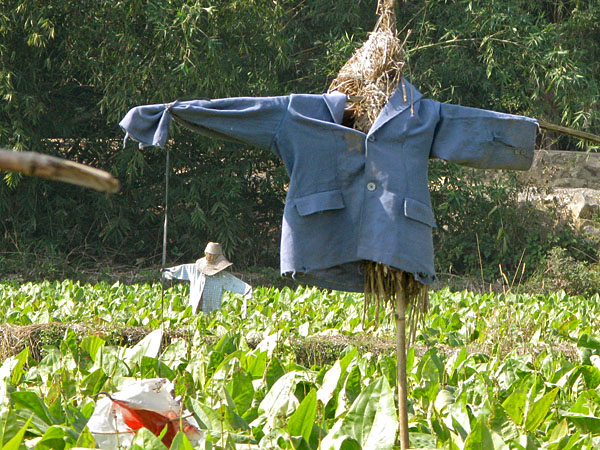 Scarecrow in the field of greens