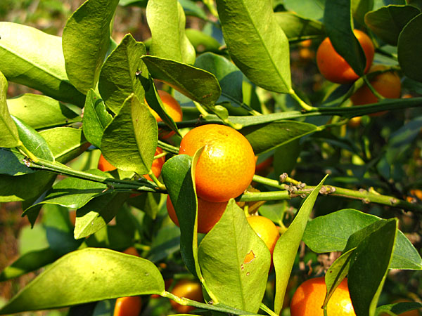 Much of the farmland we passed through were citrus groves.  This is the kumkwat tree we snacked from...don't tell!
