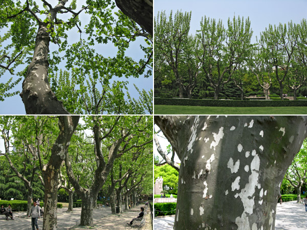 Shanghai Plane Trees at Fuxing Park