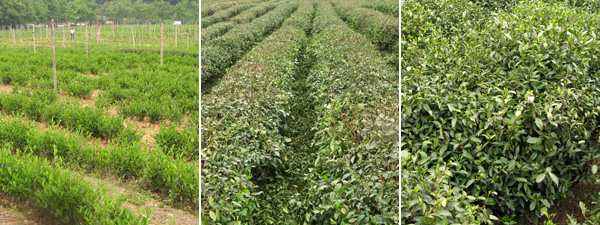Tea at all stages of growth. Freshly planted, freshly picked, ripe for picking.