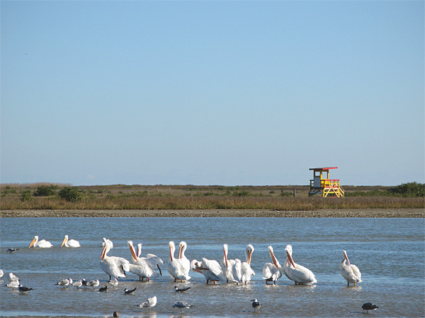 The Texas Gulf Coast Pelicans