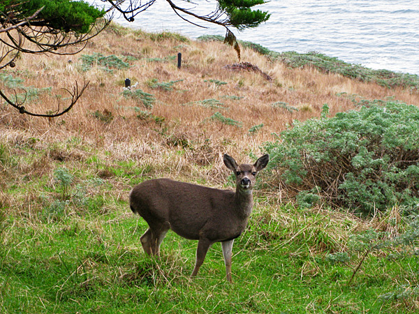 One of many deer at Pt Reyes (we saw whales too!)
