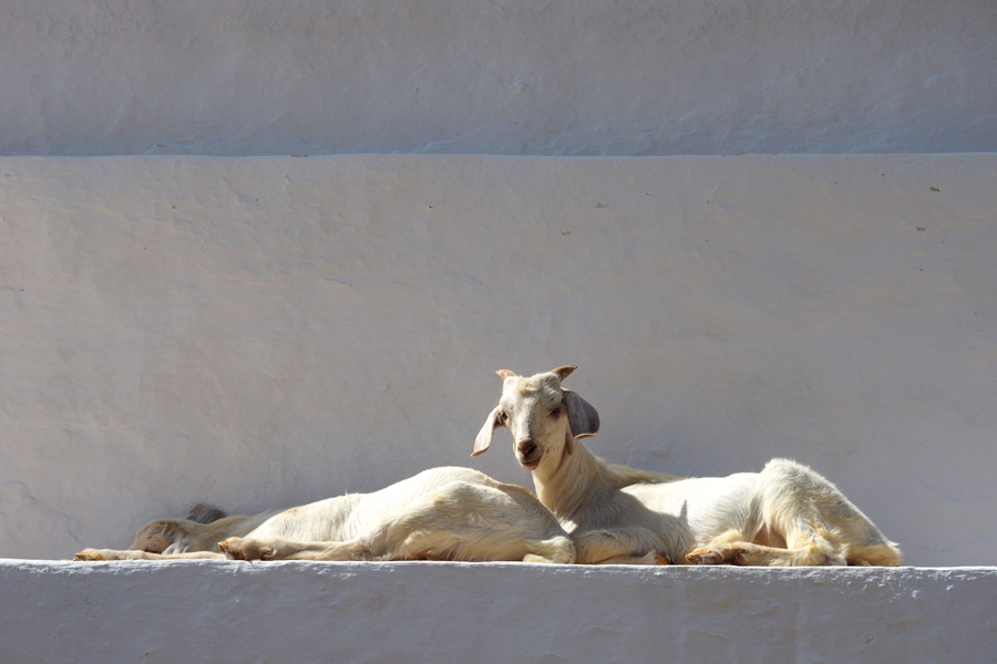 Goats climbing on Panaghia