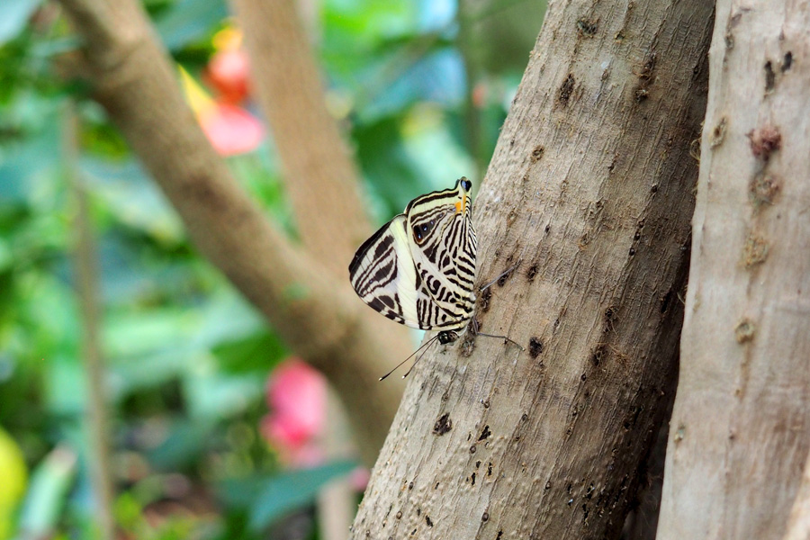 Butterfly with zebra markings