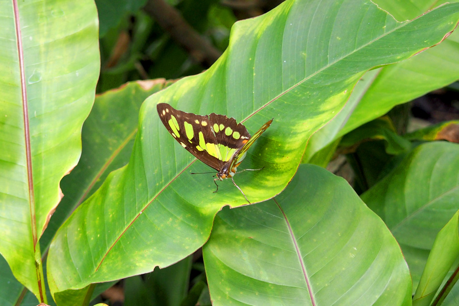 Butterfly with leaf green markings