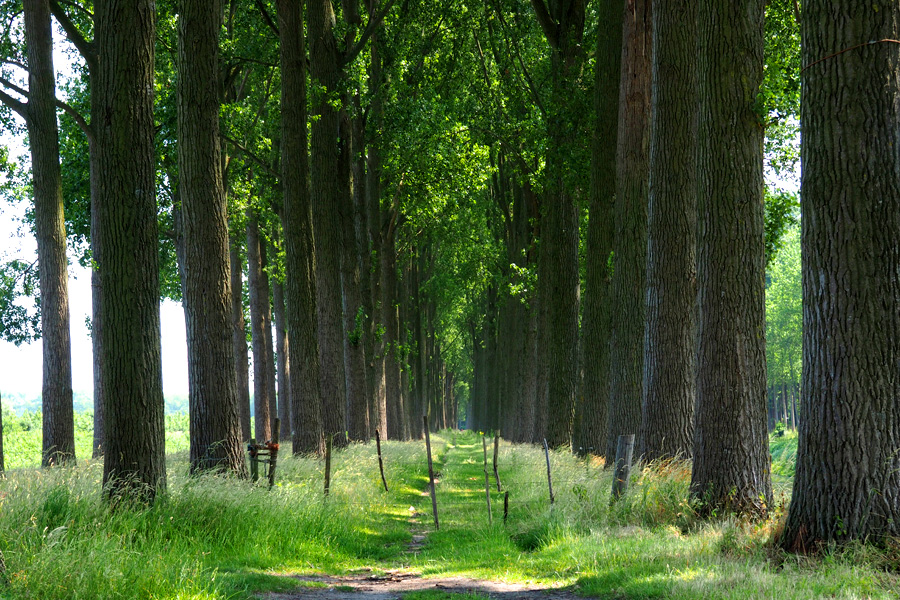 Tree Tunnel with grassy path